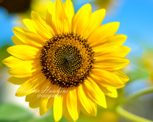 Sunflower 8 x 10 watermarked