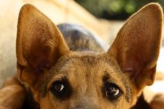 August Eleventh. (redaleka) Tags: dog pet cute look animal closeup hair puppy fur see eyes focus funny head watch ears sleepy stupid germanshepherd simpson gsd simsim augusteleventh threehundredsixty