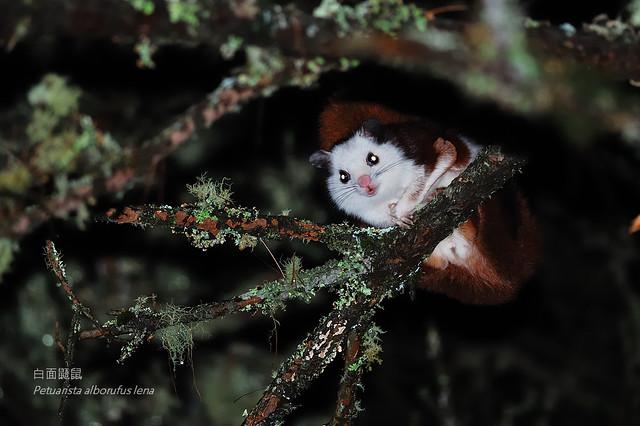 白面鼯鼠 Petuarista alborufus lena Thomas