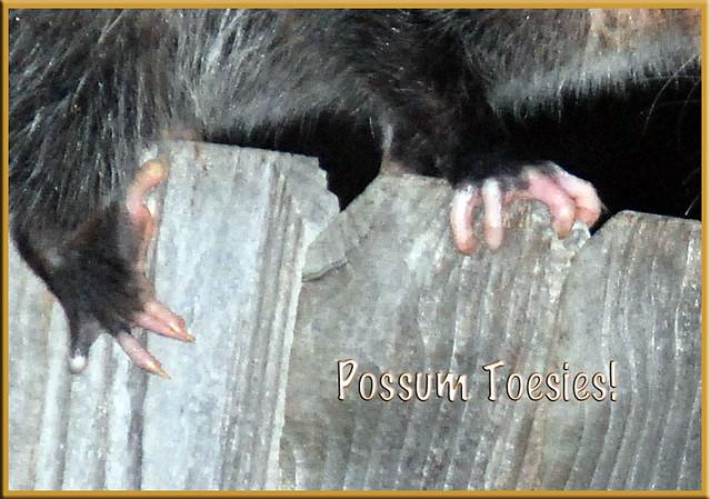Possum-Toesies