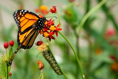 Monarch & the Caterpillar ( Brenda ) Tags: butterfly insects caterpillar missouri insectsandspiders monarchbutterfy readerphoto brenda0206 brenda mdc75