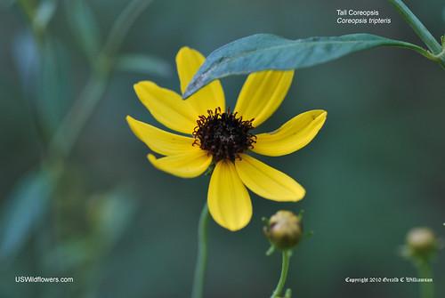 Tall Coreopsis, Tall Tickseed - Coreopsis tripteris