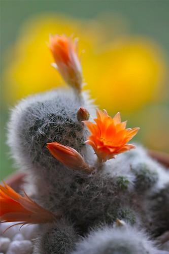 Rebutia Cactus by joeysplanting