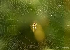 Spider In Web (YOYO182) Tags: spiderinweb