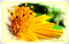 A beleza da flor. The beauty of a little flower. Again in my album. (Raul Fritz) Tags: flower art nature beautiful yellow natureza flor fine amarelo litlle litle niceflower artistical