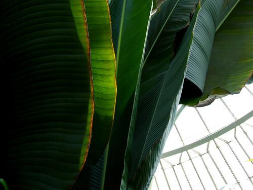 big-ass leaves