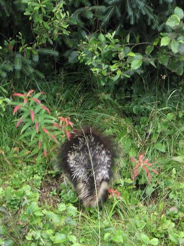 porcupine butt