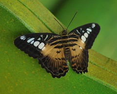 Clipper Butterfly (Parthenos sylvia) (marmendy mill) Tags: green london butterfly lepidoptera naturalhistorymuseum soe sylvia clipper parthenos sensationalbutterflies flickrstruereflection1