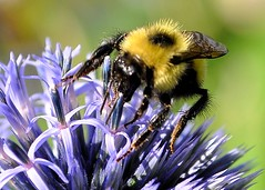 busy bee (moemay9) Tags: macro lens nikon shot insects bee kit 1855mm nikkor beauties vr natures d90 poormans