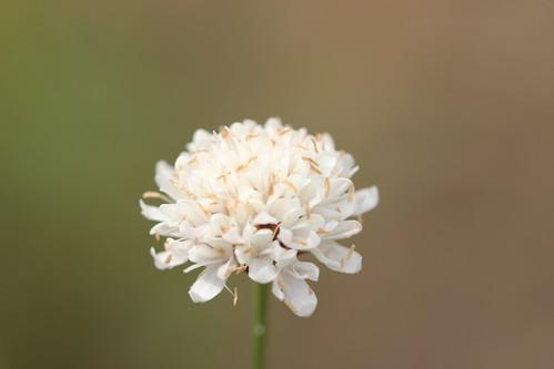white pompoms