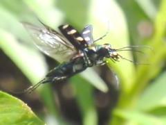 Flying (CharlesLam) Tags: macro insect geotagged hongkong flying beetle siulekyuen kclama geo:lat=22465530 geo:lon=114187710