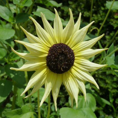 Chicago Botanic Garden, Sunflower Bloom