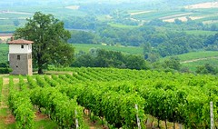 One of the most beautiful vineyards in Greece (sifis) Tags: green nature landscape vineyard nikon natural wine country olive winery greece vineyards grapes land agriculture grape 28300 boutari  sifis sakalak diaporos d700  ramnista gianitsohori
