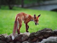 P8220460 (Aperturer) Tags: moscow olympus fox москва парк царицыно zd50200 лисица лиса e620 лисёнок