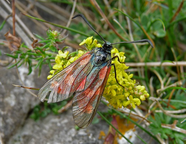P1090298 - Burnet Moth, Gower