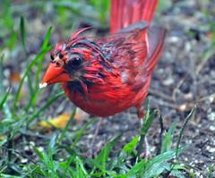 DSC_0187-1 (RachidH) Tags: red wet birds cardinal nj sparta oiseaux redbird northerncardinal redcardinal cardinalcardinalis cardinalrouge wetred wetcardinal rachidh