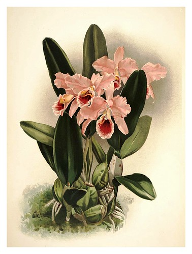 001-Cattleya Percivaliana-Reichenbachia-Orchids illustrated and described..Vol I-1888-F.Sander