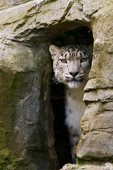 Adult Snow Leopard (peter orr photography) Tags: uk england fauna objects hampshire mammals marwell snowleopard locations pantherauncia flickrbigcats
