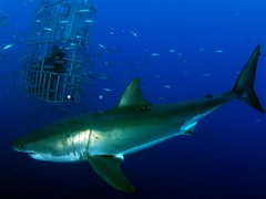 CSC_0320 (DiLyBe) Tags: white mexico island shark explorer great scuba diving cage guadalupe isla nautilus