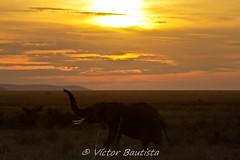 Atardece en el Serengeti (Víctor Bautista) Tags: africa parque elephant sol animals fauna canon contraluz tanzania atardecer big natural five victor safari vida 7d animales silueta serengeti nacional bautista elefante bigfive salvaje 100400 atardece