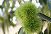 Chestnut burs (Mrs. Moth) Tags: portugal chestnut castanhas vinhais chestnutbur canoneos550d