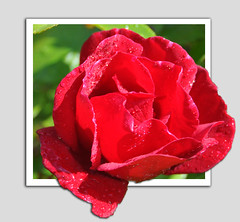 RED ROSE OOB (Shaun's Nature and Wildlife Images....) Tags: out oob bounds of