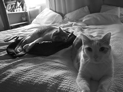 pop flash (davedehetre) Tags: friends light bw cats cat prime spread book bed natural pillow backpack kitties ambient drapes shelves f28 monchrome photojournalistic 14mm samyang