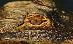 as_close_as_i_want_to_get____by_alphamegapixel-d3gcuz3 (alphamegapixel) Tags: eye closeup florida sony alligator american wetlands alpha viera a900 vierawetlands sal70400g alphamegapixel alphamegapixelcom