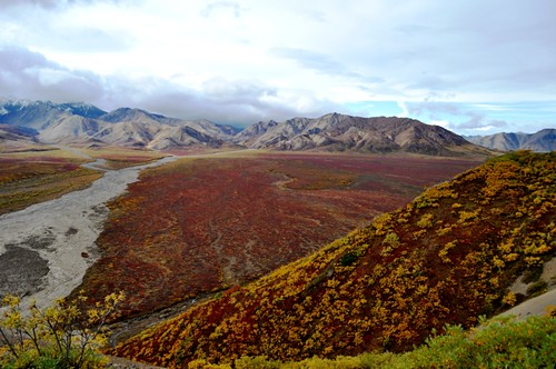 Regal Fall Colors of Red and Gold, Denali National Park, Aug. 31, 2011
