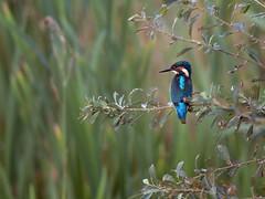 Kingfisher in Willow (Tony McLean) Tags: kingfisher 2011 eisvogel tophilllow nikond3 nikon500f4gvr tonymclean