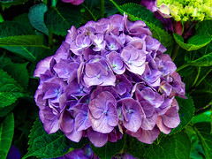 Lilac flower... (Diana_Khalil) Tags: summer flower macro beautiful closeup colorful lilac hydrangea lilacflowers lilacflower