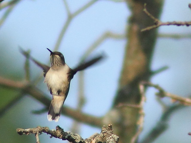 Ruby-throated Hummingbird 20110902