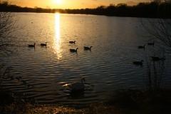 IMG_6042 (christophemurphy) Tags: sunset lake geese swan ducks boating rickmansworth aquadrome