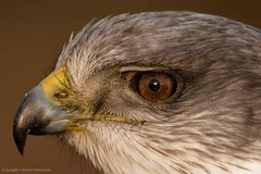 Head shot of Red-Backed Hawk (Derek Pettersson) Tags: hawk variable redbacked