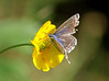 Buttercup blue (Mr Grimesdale) Tags: butterfly commonblue stevewallace britishbutterflies mrgrimesdale