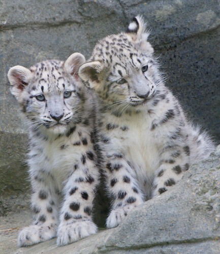4.Baby Snow Leopards At Marwell