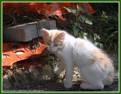 Gatti_677_2011-1 (Herbert9999) Tags: gatti