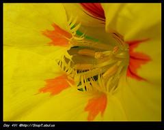 Why Does The Nasturtium Flower Have A Fringe? (Riquochet) Tags: flowers yellow petals tropaeolum nasturtium