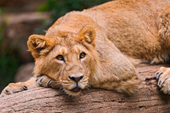 Lying and posing young male asiatic lion
