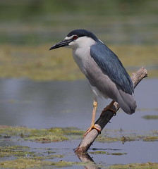 Black capped night Heron (close up) [Explored] (bojangles_1953) Tags: lake bird heron nature water up photo close image wildlife perch kashmir dhal nbw blackcappednightheron naturewatcher