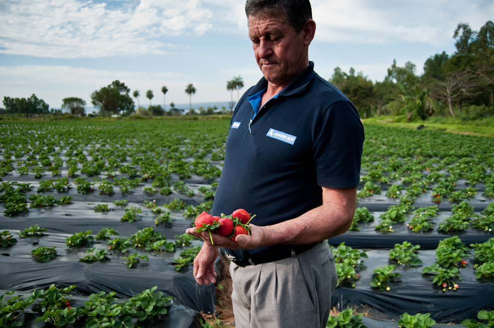 El secretario de la Asociación de Productores de Frutilla y Afines, Carlos Quintana, sostiene en su mano una muestra de las mejores frutas de sus huertas en la compañía Estanzuela. (Elton Núñez)