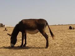 Marocco - Asinello- (Hicham Charqane) Tags: nikon natura marocco animali asino hicham d5000 priero charqane