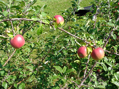MM.106 EMLA Tree with Fruit