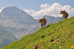 Cattle on the alp (Darkroom Daze) Tags: mountain snow alps flower field rock stone schweiz switzerland cow cattle pass meadow pasture scree limestone geology alpen alp alpi dolomite geologie grisons tectonics ethzrich rhaetian svizra orogeny grigioni norian apulian pizela albulapass recumbentfold kantongraubnden pizdaela latetriassic chantungrischun allochthonous austroalpine errberninanappe loweraustroalpine hauptdolomit passdalvra crapalv pizrugnux elanappe principaldolomite carnian