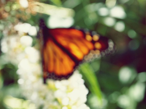 Monarch bokeh