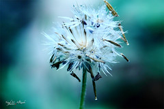 [106] Hold on to your dream (Sada AlQuds 48) Tags: macro blue tungeston close up dandelion                                                                nouf m alkaabi photography