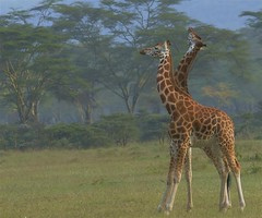 Just grow up shorty (sarniebill1) Tags: copyright kenya full safari giraffe specanimal giraffefight sarniebill1 nigelwedge
