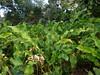 DSC02715 (rantavani) Tags: plantas tropicais