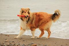 [COLLIE] Setiembre 2011 (tehzeta) Tags: collie sable playa can per perro paseo felicidad juego lassie mascota trujillo dorado huanchaco roughcollie tehzeta melissathereliz pastorescoses