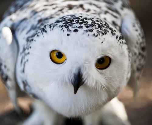 [フリー画像] 動物, 鳥類, フクロウ, シロフクロウ, 201109221100
